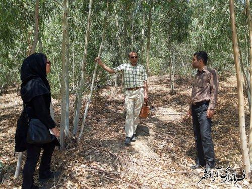 توسعه زر اعت چوب در شهرستان آزادشهر