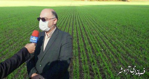 سطح کشت گندم در شهرستان آزادشهر تاکنون به ۱۱۲۰۰ هکتار رسیده است